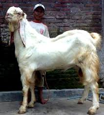 susu kambing gmp nutri